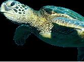 Turtle - Image 2