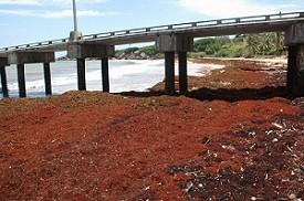 Company Eyes Seaweed Exports - Atlantis Submarines Barbados