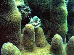 Fuzzy Pillar Coral